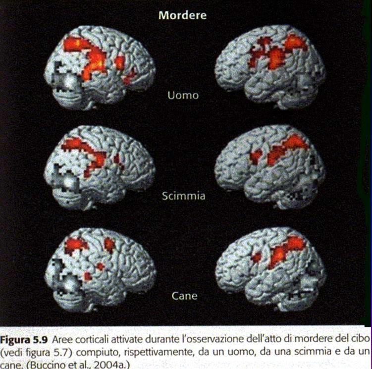 Neuroni specchio nell 39 uomo scimmia cane - Neuroni a specchio rizzolatti ...